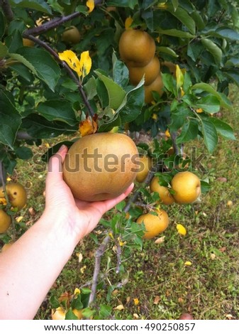 Hand holds the big  golden apple directly on the apple tree. Apple harvest in France