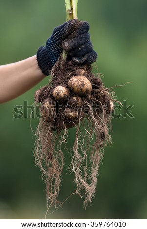 hand in glove holding digging bush potato  - stock photo