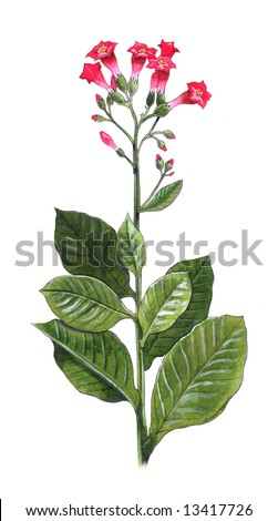 Hand-made illustration of a tobacco plant - Nicotiana Tabacum - stock photo