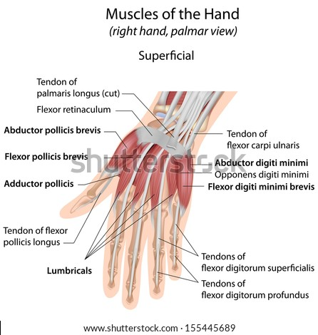 Android Hand Muscle Diagram - Wiring Circuit •