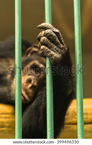 Hand of a chimpanzee monkey holding the green bar of his cage - stock photo