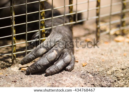 Hand of an imprisoned gorilla through the cage