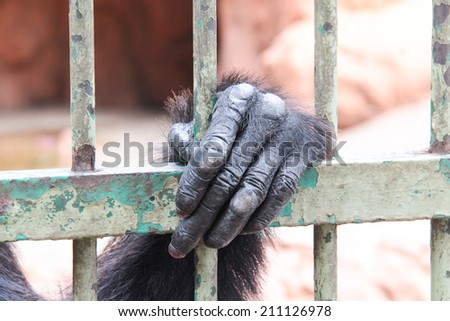 Hand of Chimpanzee in the cage - stock photo