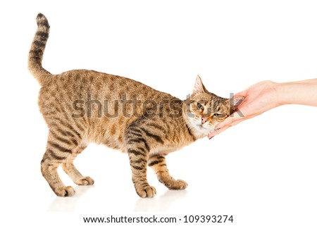 Hand of persons stroking a tabby cat - stock photo