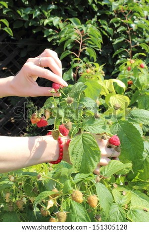 Hand of woman and natural raspberries bush in sunny garden