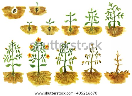 Hand painted watercolor illustration of plant's growing stages from seed to flowers and to wilting. Plants growth process. Life cycle of a plant. Sequence of plant evolution.  - stock photo