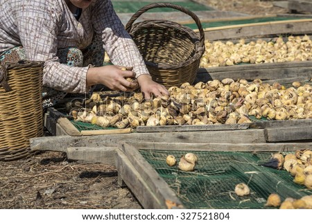 hand picking dried figs - stock photo