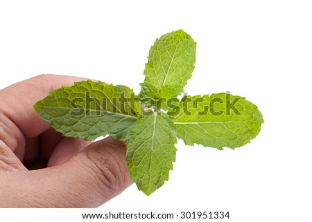 hand picking fresh mint herb leaves isolated on white background - stock photo