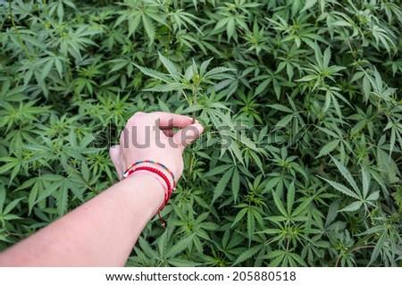 hand picking marijuana from field - stock photo