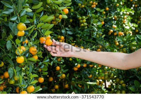 Hand picking of orange mandarin fruits in garden - stock photo