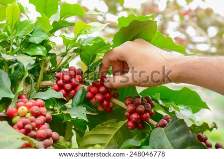 Hand picking red coffee beans on coffee tree - Arabica coffee - stock photo