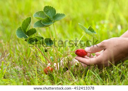 hand picking ripe strawberries growing among grass
