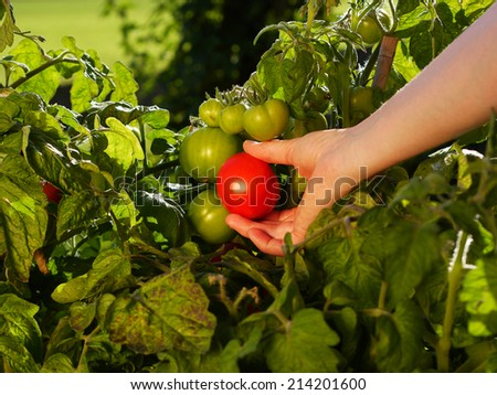 hand picking tomatoes from the plant - stock photo