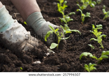 Hand planting a tomato seedling in ground