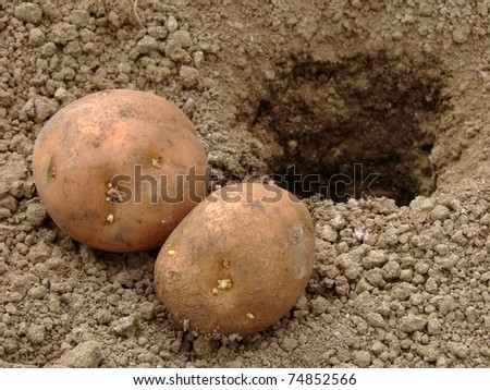 hand planting potato tuber into the ground