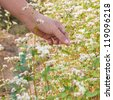 hand showing blooming buckwheat - stock photo