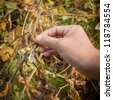 hand showing ripe soy bean in the fall in the country side - stock photo