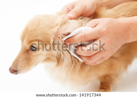 Hand to the ear cleaning of dog - stock photo