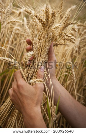 hand touch wheat ears at sunset