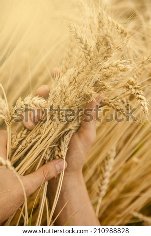 hand touch wheat ears at sunset  - stock photo
