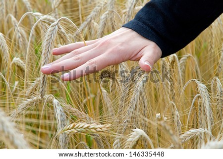 Hand touching a wheat field