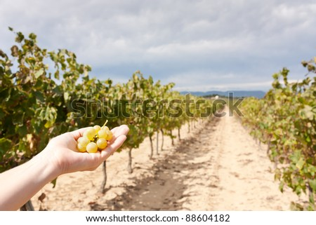 Hand with grapes showing the vineyards - stock photo