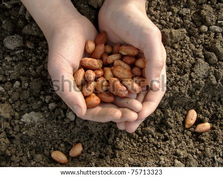 hand with peanut seeds ready to sowing - stock photo