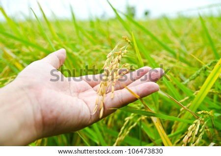 Hand with rice field - stock photo