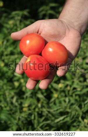 Hand with three tomatoes on the background of green bush tomato.