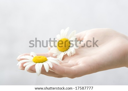 hand with two chamomile - stock photo