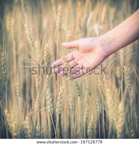 hand woman touch barley field of agriculture rural scene