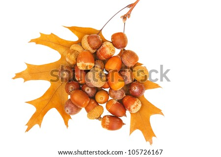Handful of acorns upon oak branch with two autumnal leafs isolated on white