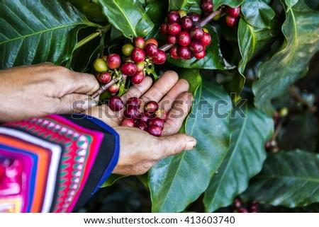 Handful of fresh organic coffee beans - stock photo