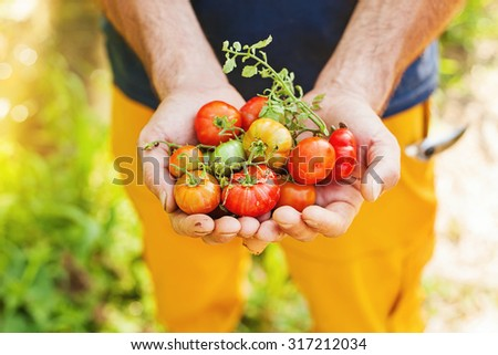 handful of freshly picked tomatoes of bright colors - stock photo