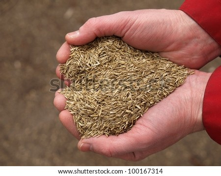 Handful of grass seeds ready for planting, closeup - stock photo