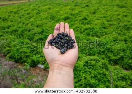 Handful of ripe wild black mulberries on a background of green grass - stock photo
