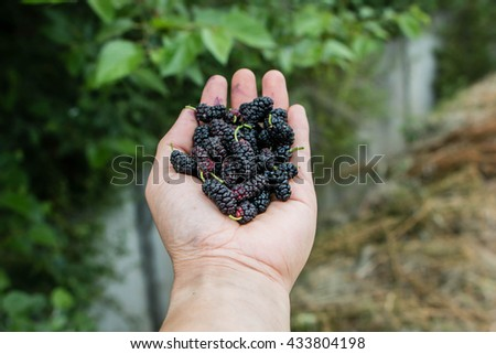 Handful of ripe wild black mulberries on a background of tree  mulberries. - stock photo