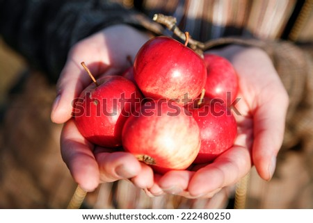 Handful of very small red delicious  just picked up apples  - stock photo