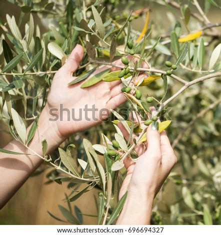 Hands are holding olive tree branches.