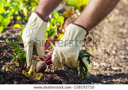 Hands harvesting beetroots from the gound soil earth, local produce and seasonally concept - stock photo