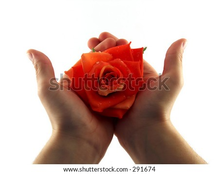 hands holding a beautiful red rose - stock photo