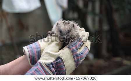 hands holding a small european hedgehog - stock photo