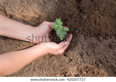 Hands holding and planting small, beautiful watermelon bush with ground. It is ready for planting.