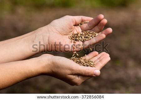 hands holding and pouring rye grains