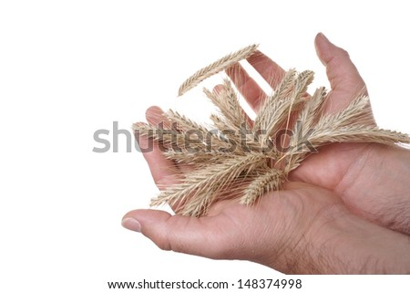 hands holding barley / agriculture - stock photo