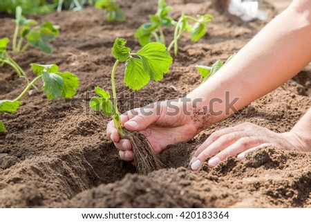 Hands holding beautiful strawberry plant with ground and roots. It is ready for planting. - stock photo
