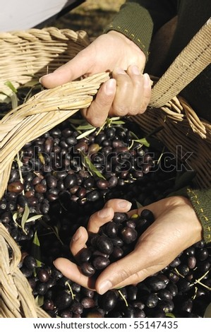 hands holding black olives - stock photo