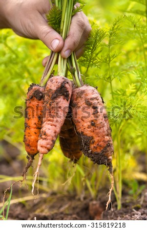 hands holding bunch of freshly harvested carrots - stock photo