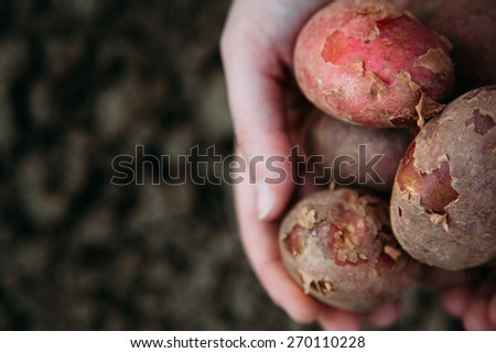Hands holding dirty harvested potatoes - stock photo