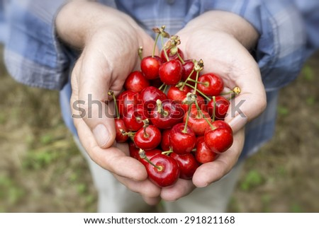 Hands Holding Fresh Cherries - stock photo
